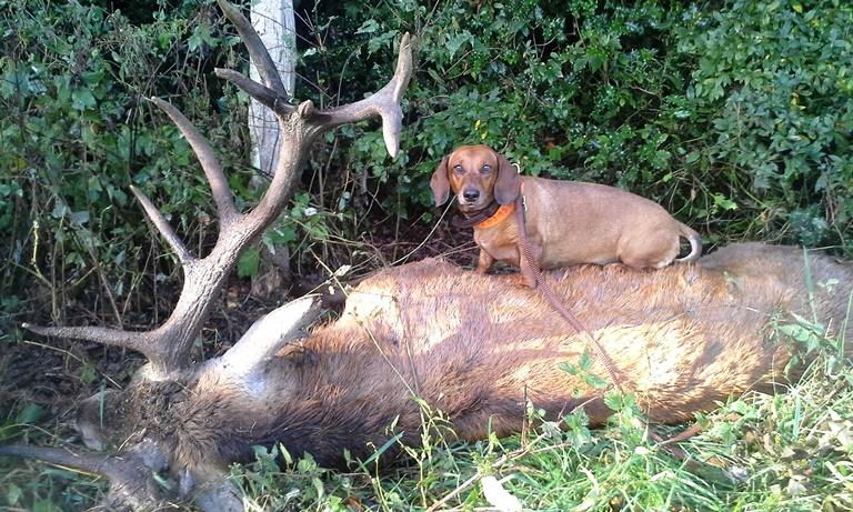 Bellini auf dem gefundenen Hirsch